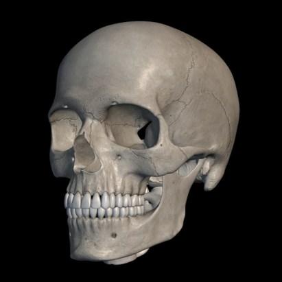 fungsi Tulang tengkorak