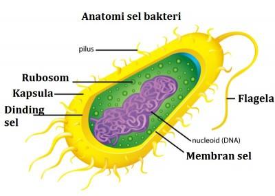 anatomi sel bakteri