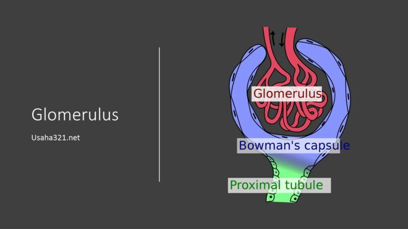 Glomerulus: Pengertian, fungsi, gangguan